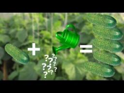Юлия Минаева -  Как Увеличить Урожай Огурцов Чем Подкормить Огурцы