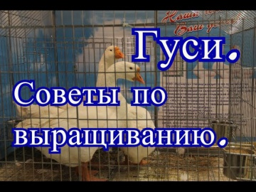 Юлия Минаева Гуси. Советы по выращиванию с Выставки Золотая Осень 2016.