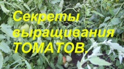 Юлия Минаева -  Мои секреты выращивания томатов.