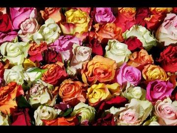 Юлия Миняева Секрет Шикарных Роз: Качественные Саженцы Залог Успеха