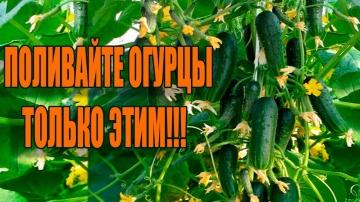 Урожайный огород В 10 РАЗ БОЛЬШЕ ОГУРЦОВ ТОЛЬКО С ЭТИМИ ПОДКОРМКАМИ!!!