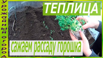 Урожайный огород ПОСАДКА РАССАДЫ ГОРОШКА В ГРУНТ!