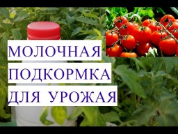 Юлия Минаева Подкормка Молоком для Отличного Урожая