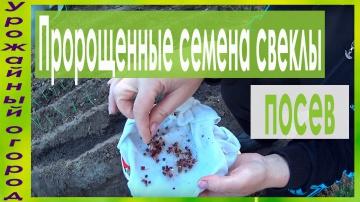 Урожайный огород ПОСЕВ СВЕКЛЫ ПРОРОЩЕННЫМИ СЕМЕНАМИ!