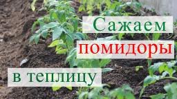 Юлия Миняева-Посадка томатов в теплицу