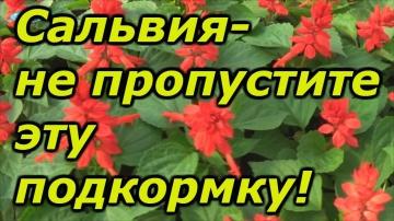 Сад Огород своими руками Сальвия-не пропустите эту важную подкормку!!!