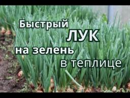 Юлия Минаева -  Быстрый Лук на зелень в теплице.