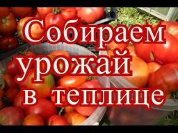 Юлия Минаева -  Помидоры в теплице. Сбор урожая. (30.07.2016)