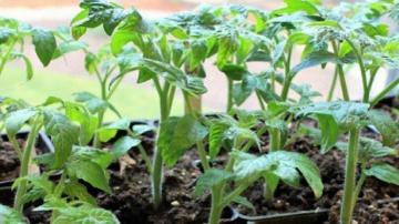 Огород где все растет 28. Проверенный временем способ выращивания рассады перца и помидор.