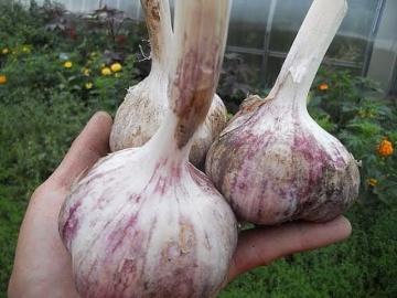 Урожайный огород Новый способ посадки чеснока целыми головками