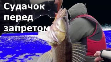 Последний судак перед нерестовым запретом 2018