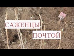 Юлия Минаева -  Саженцы Почтой. Как Сохранить Саженцы до Весны. Результат Эксперимента.