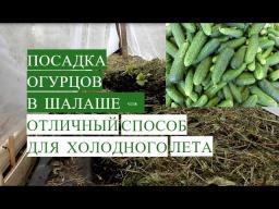 Юлия Минаева -  Посадка Огурцов в Открытый Грунт в Шалаше Отличный Способ Для Холодного Лета