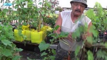 Сад Огород своими руками СТОИТ ЛИ ПОКУПАТЬ В АВГУСТЕ  ВЕГЕТИРУЮЩИЕ САЖЕНЦЫ ВИНОГРАДА?